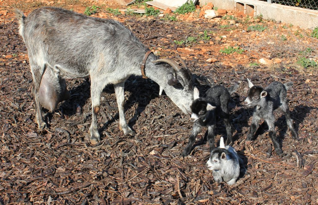 Campo con cabras